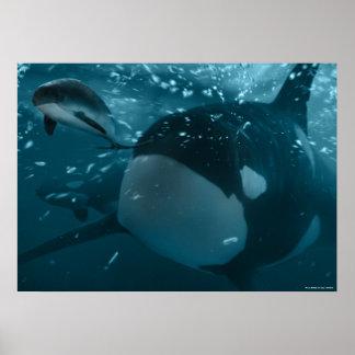 Orca hunts porpoise afdruk