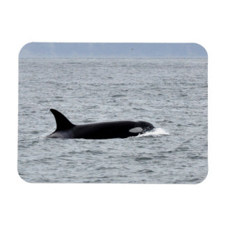 Orca in the Wild Magnet