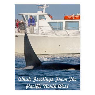 Orca Killer Whale -transient, washington Postcard