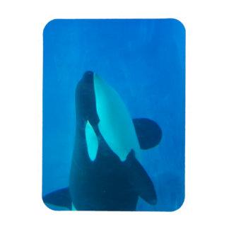 orca killer whale underwater blue rectangle magnet