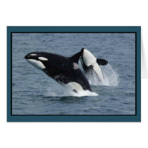 Orca Killer Whales Breaching