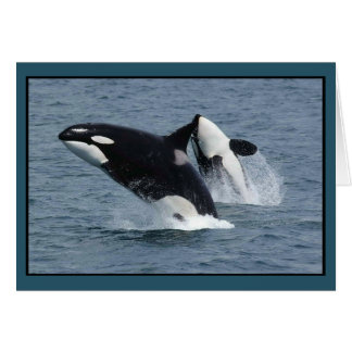 Orca Killer Whales Breaching Card