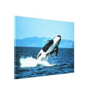 Orca Lona Envuelta Para Galerías