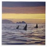 Orca o orcas azulejo cuadrado grande