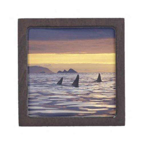 Orca o orcas caja de joyas de calidad