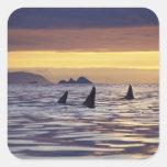Orca o orcas pegatina cuadrada
