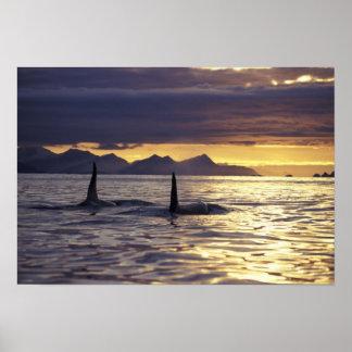 Orca o orcas póster