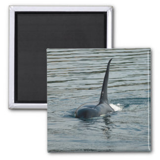 Orca on the hunt 2 inch square magnet
