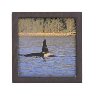 Orca or Killer whale. Jewelry Box