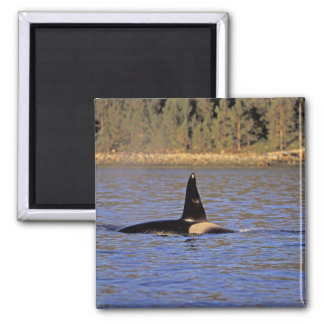 Orca or Killer whale. Magnet