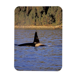Orca or Killer whale. Magnets