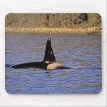 Orca or Killer whale. Mousepad