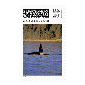 Orca or Killer whale. Postage