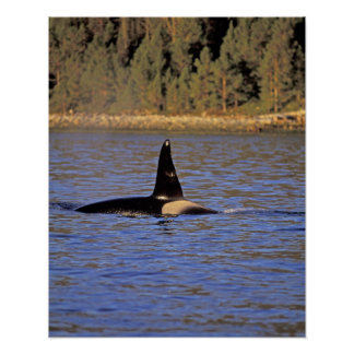 Orca or Killer whale. Poster
