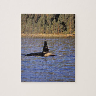 Orca or Killer whale. Puzzle