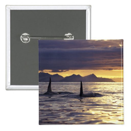 Orca or Killer whales 2 Inch Square Button