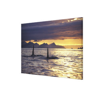 Orca or Killer whales Canvas Print