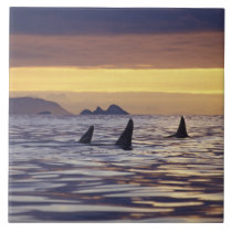 Orca or Killer Whales Ceramic Tile