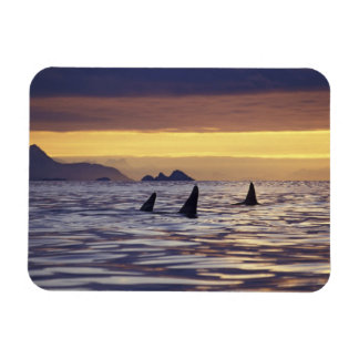 Orca or Killer Whales Flexible Magnets