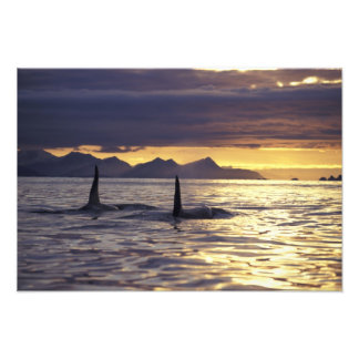 Orca or Killer whales Photo Print