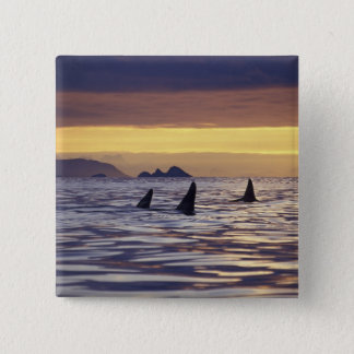 Orca or Killer Whales Pinback Button