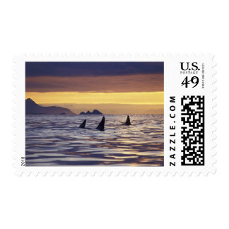 Orca or Killer Whales Postage