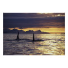 Orca or Killer whales Poster