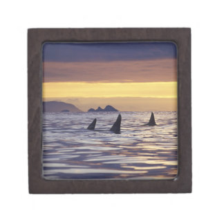 Orca or Killer Whales Premium Gift Box
