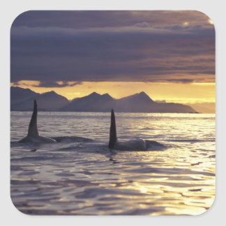 Orca or Killer whales Square Sticker