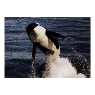 Orca Póster