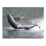 Orca que viola en Alaska Tarjeta Postal