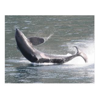 Orca que viola en Alaska Tarjetas Postales