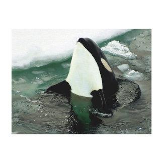 Orca Spy Hopping Canvas Print