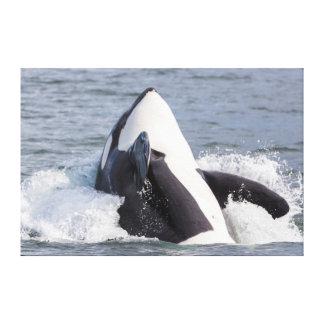 Orca whale breaching canvas print