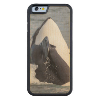 Orca whale breaching carved® maple iPhone 6 bumper case