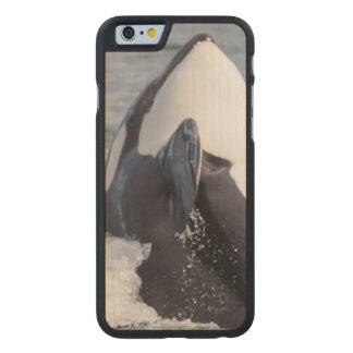 Orca whale breaching carved maple iPhone 6 slim case