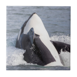 Orca whale breaching ceramic tile