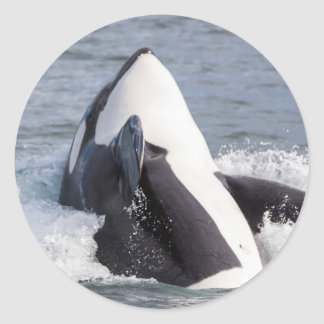 Orca whale breaching classic round sticker