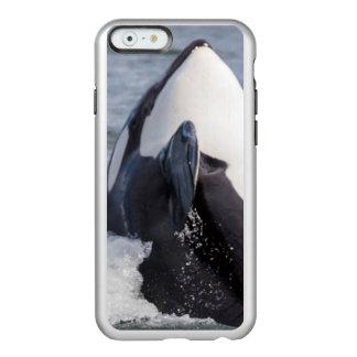 Orca whale breaching incipio feather shine iPhone 6 case