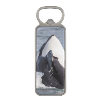 Orca whale breaching magnetic bottle opener