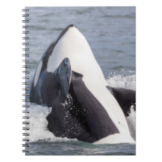 Orca whale breaching notebook
