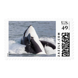 Orca whale breaching postage stamp