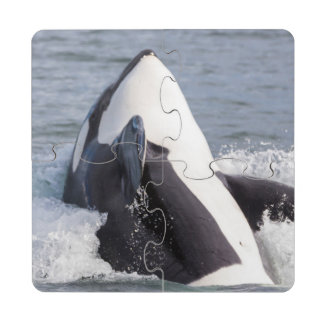 Orca whale breaching puzzle coaster