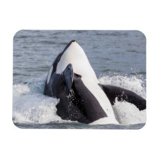 Orca whale breaching rectangular photo magnet