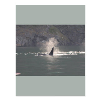 Orca Whale Breaths Out Mist in Whale Rich San Juan Postcard