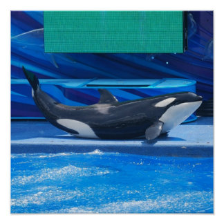Orca Whale Showing Off Posters