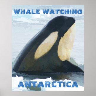 Orca Whale Spyhop blue Poster