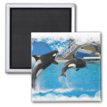 Orca Whales Magnet Magnet