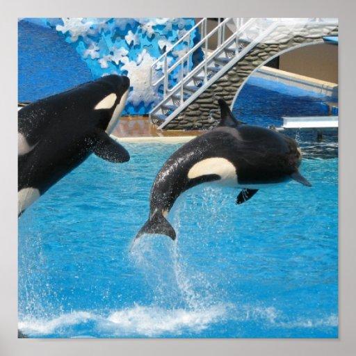 Orca Whales Print