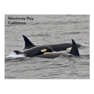 Orcas on the Monterey Bay Postcard